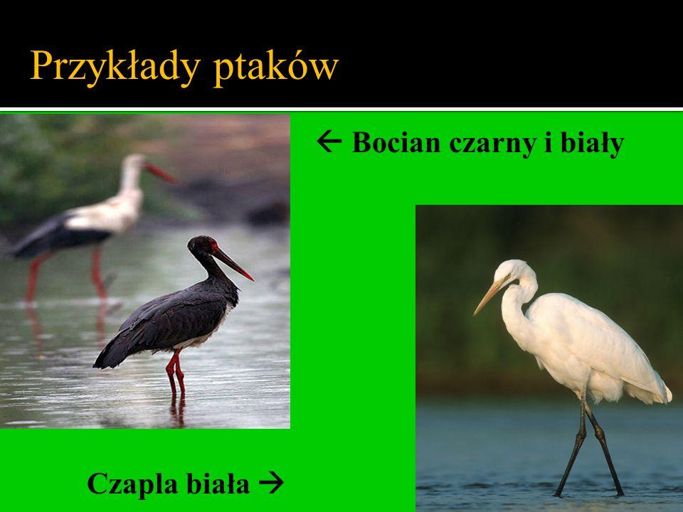 Bocian czarny i biały Czapla biała Przykłady ptaków