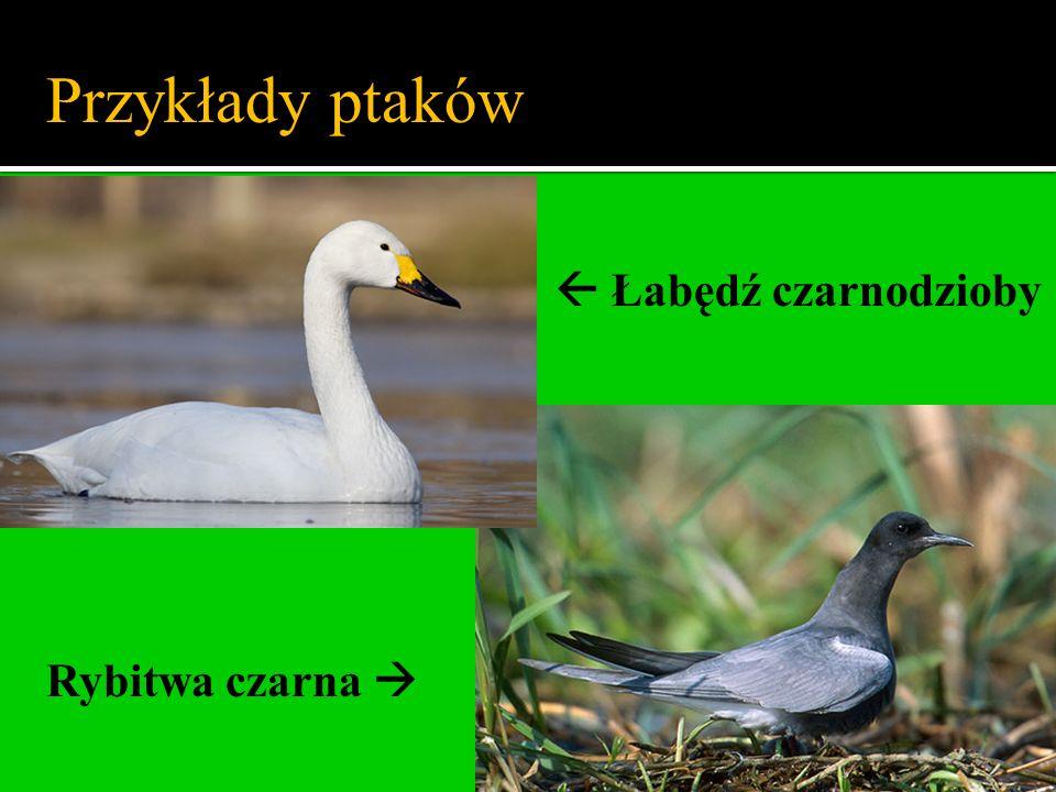 Łabędź czarnodzioby Rybitwa czarna Przykłady ptaków