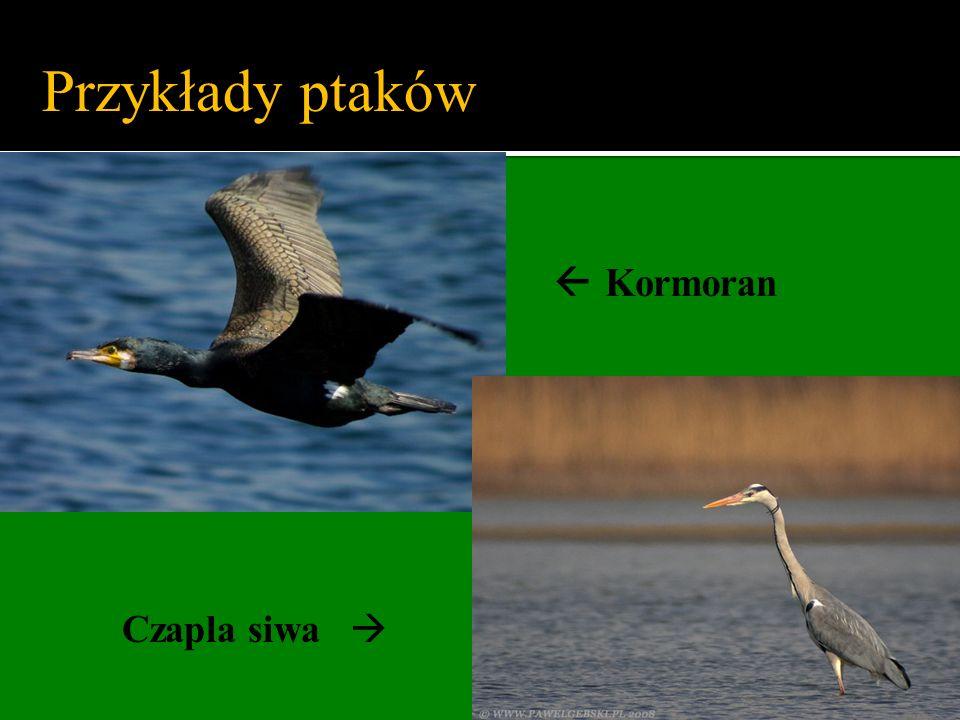Czapla siwa Przykłady ptaków