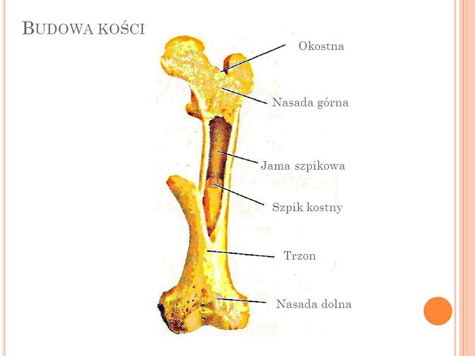 P OŁĄCZENIA KOŚCI RodzajZakres ruchu Przykłady połączeń Szwynieruchomekości czaszki Chrząstkozrostypółruchomekości kręgosłupa Stawyruchomekości kończyn