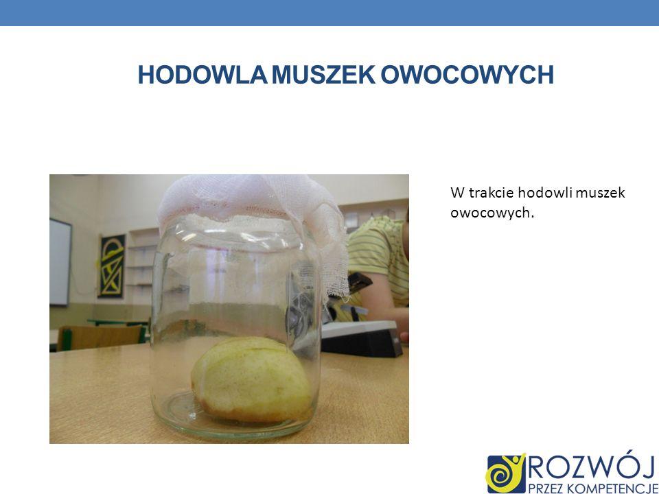 HODOWLA MUSZEK OWOCOWYCH W trakcie hodowli muszek owocowych.