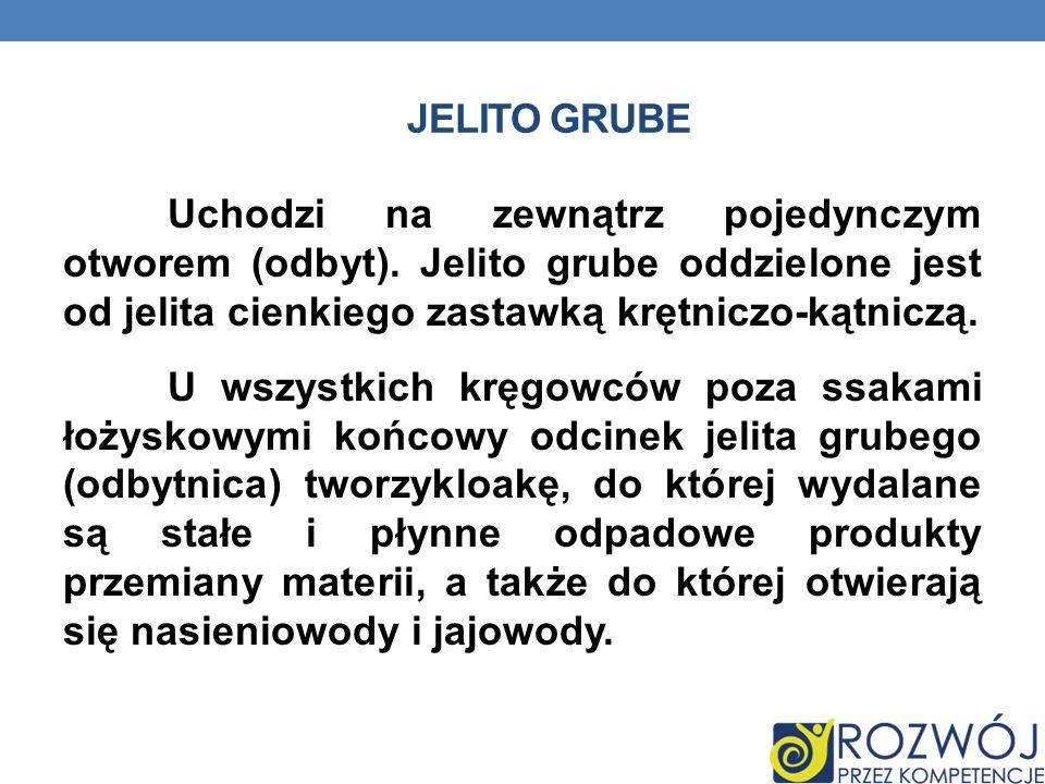 JELITO GRUBE Uchodzi na zewnątrz pojedynczym otworem (odbyt). Jelito grube oddzielone jest od jelita cienkiego zastawką krętniczo-kątniczą. U wszystki