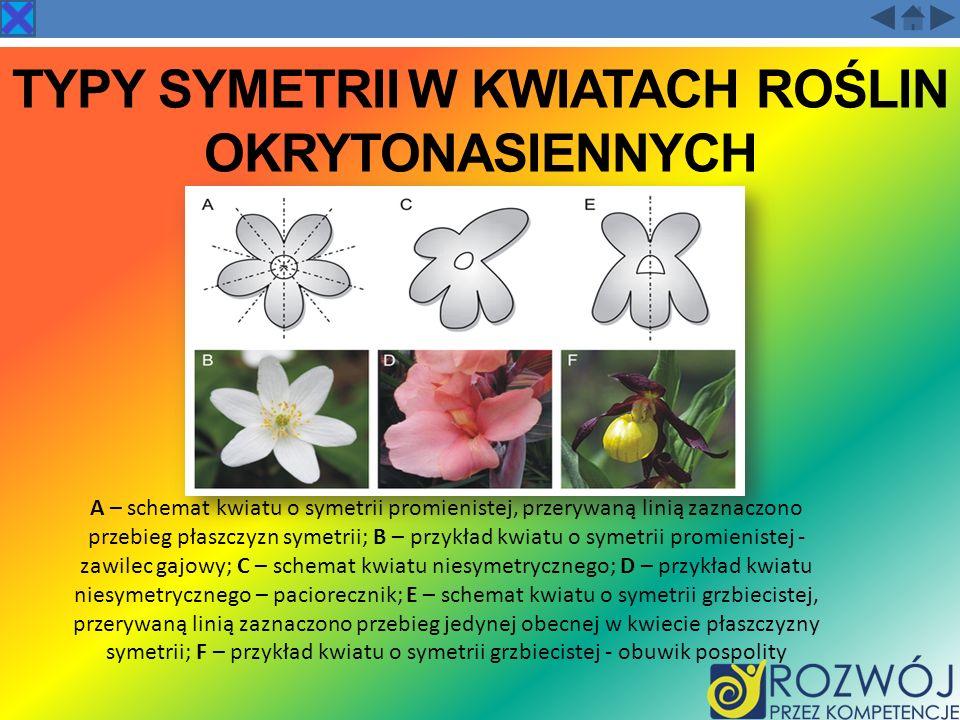 TYPY SYMETRII W KWIATACH ROŚLIN OKRYTONASIENNYCH A – schemat kwiatu o symetrii promienistej, przerywaną linią zaznaczono przebieg płaszczyzn symetrii;