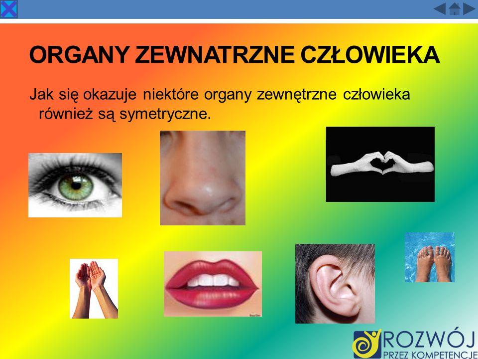 ORGANY ZEWNATRZNE CZŁOWIEKA Jak się okazuje niektóre organy zewnętrzne człowieka również są symetryczne.