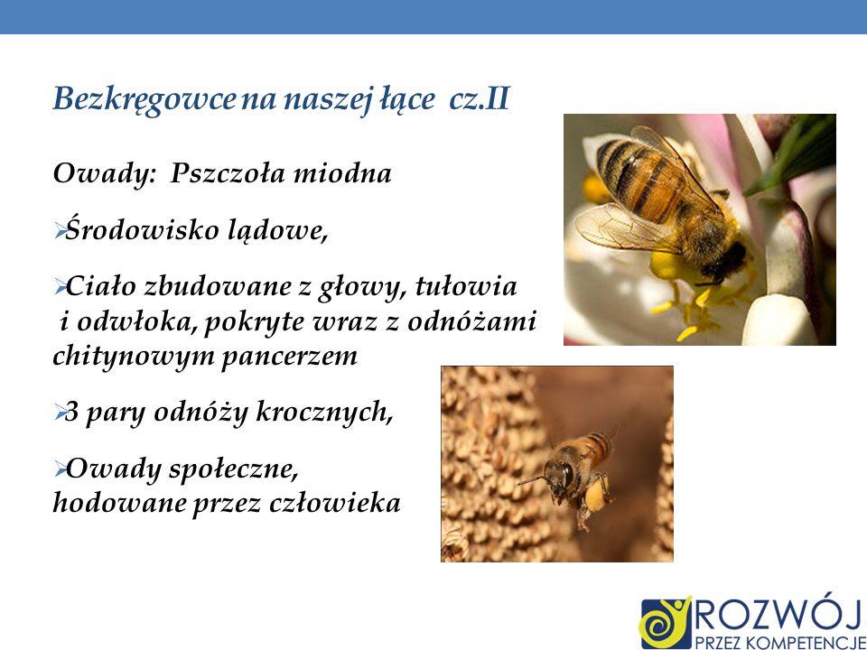 Bezkręgowce na naszej łące cz.II Owady: Pszczoła miodna Środowisko lądowe, Ciało zbudowane z głowy, tułowia i odwłoka, pokryte wraz z odnóżami chityno