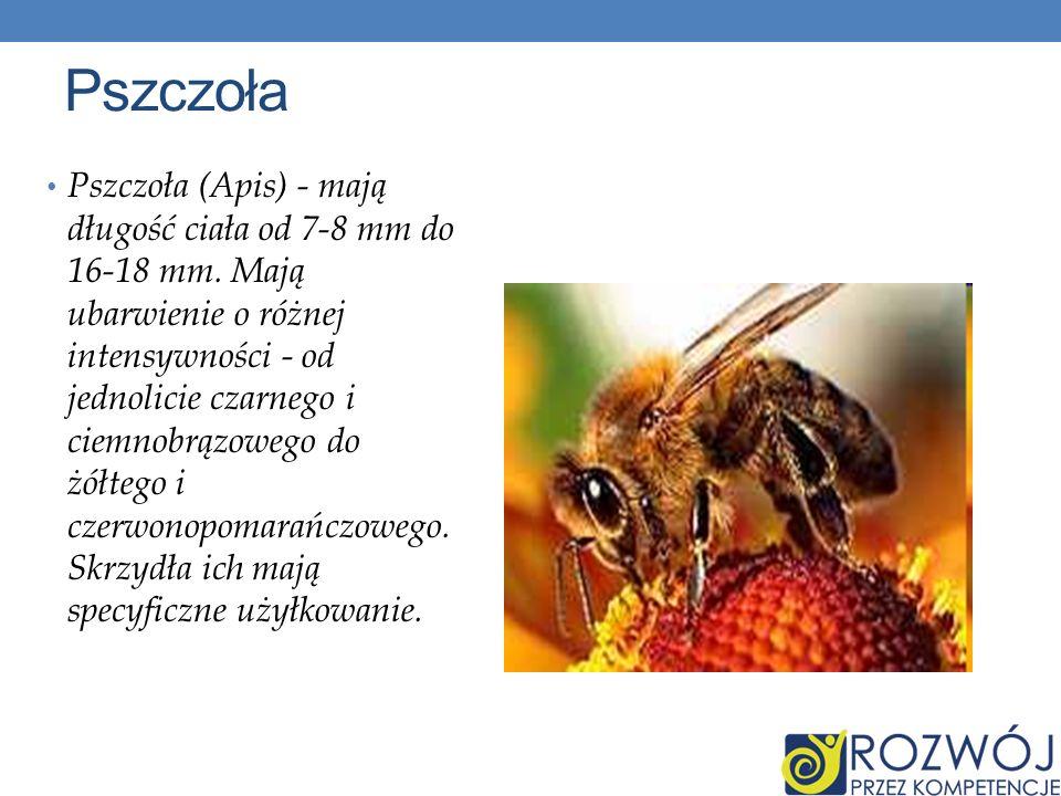 Pszczoła Pszczoła (Apis) - mają długość ciała od 7-8 mm do 16-18 mm. Mają ubarwienie o różnej intensywności - od jednolicie czarnego i ciemnobrązowego
