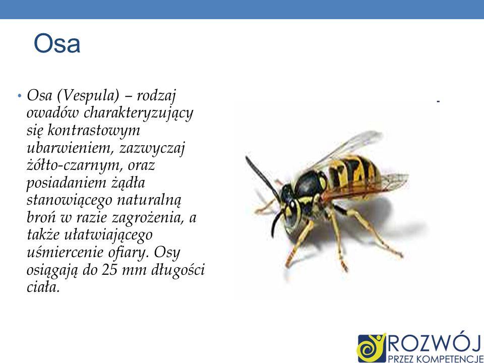 Osa Osa (Vespula) – rodzaj owadów charakteryzujący się kontrastowym ubarwieniem, zazwyczaj żółto-czarnym, oraz posiadaniem żądła stanowiącego naturaln