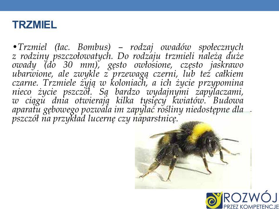 TRZMIEL Trzmiel (łac. Bombus) – rodzaj owadów społecznych z rodziny pszczołowatych. Do rodzaju trzmieli należą duże owady (do 30 mm), gęsto owłosione,