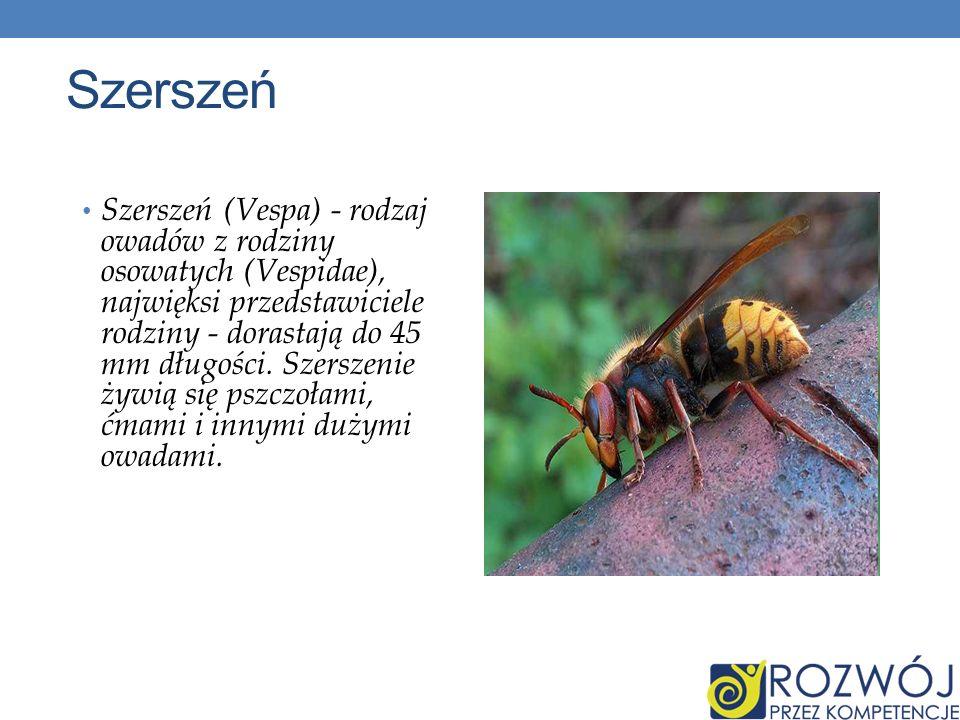 Szerszeń Szerszeń (Vespa) - rodzaj owadów z rodziny osowatych (Vespidae), najwięksi przedstawiciele rodziny - dorastają do 45 mm długości. Szerszenie