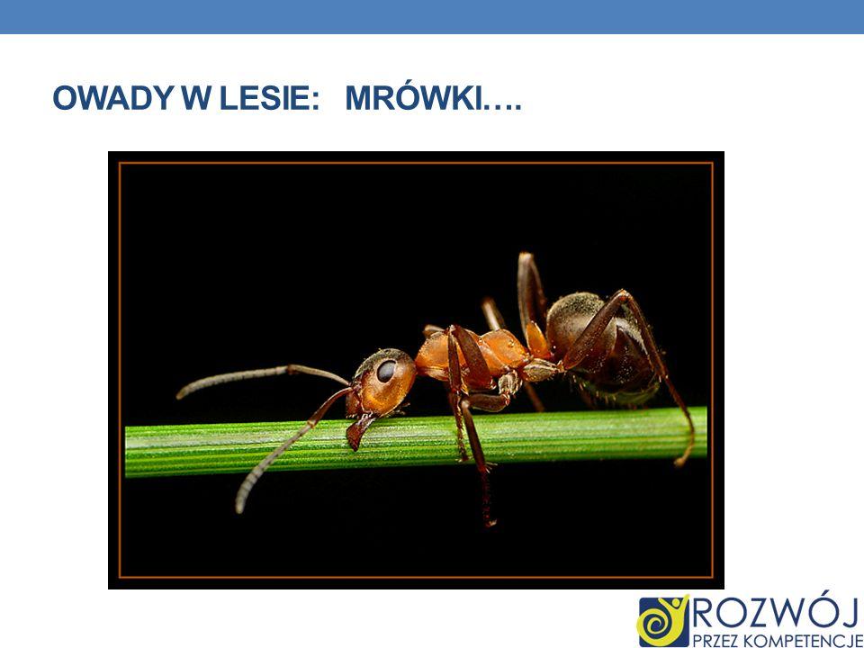 MROWISKO: gniazdo budowane przez owady z rodziny mrówkowatych.