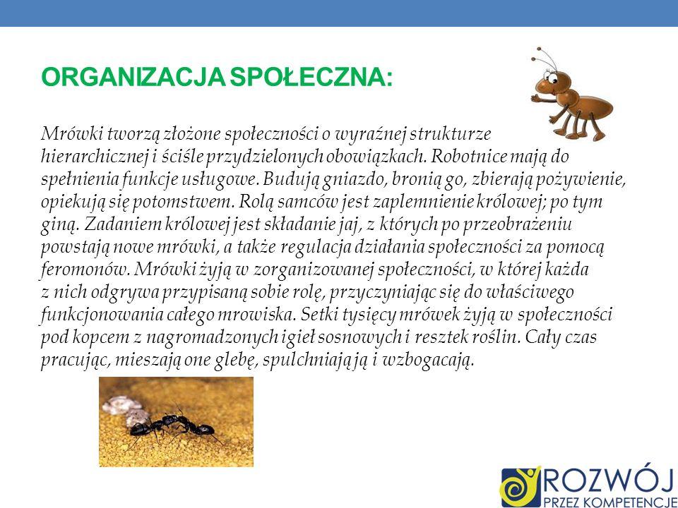 ORGANIZACJA SPOŁECZNA: Mrówki tworzą złożone społeczności o wyraźnej strukturze hierarchicznej i ściśle przydzielonych obowiązkach. Robotnice mają do