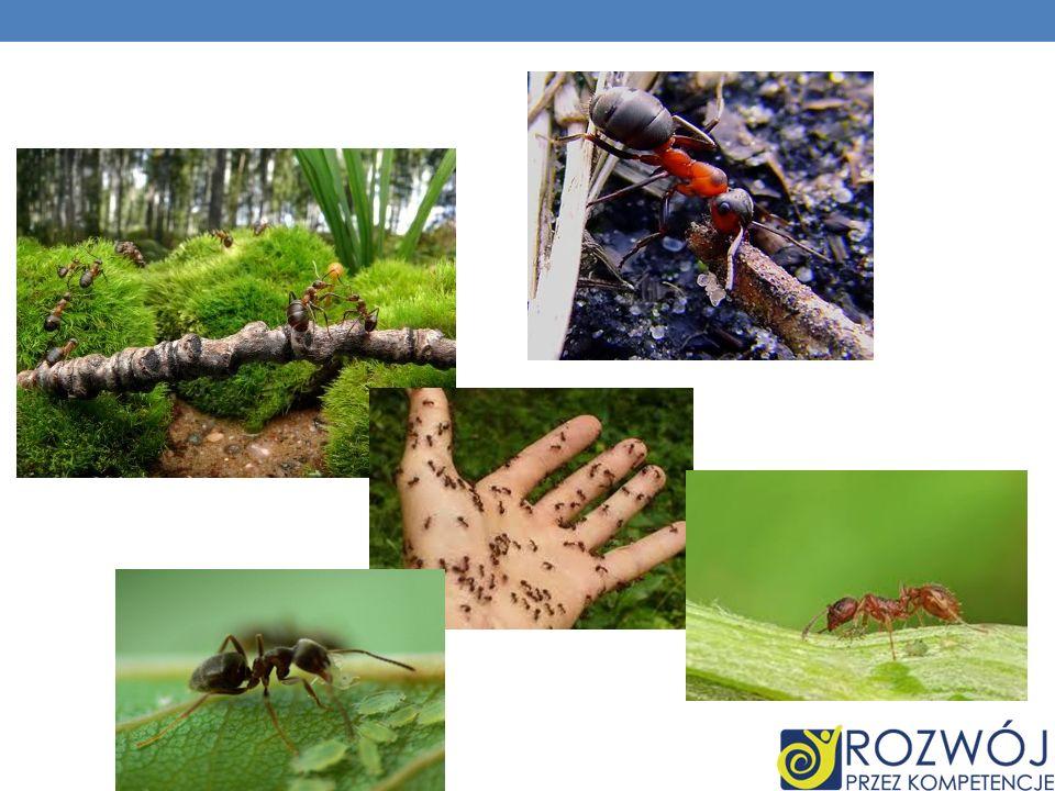 CIEKAWOSTKI CZY WIESZ ŻE… Australijskie mrówki-buldogi z rodzaju Myrmecia potrafią zabić człowieka pojedynczym użądleniem.