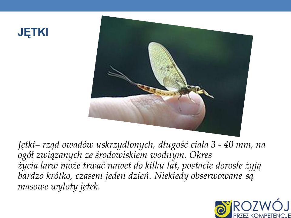 JĘTKI Jętki– rząd owadów uskrzydlonych, długość ciała 3 - 40 mm, na ogół związanych ze środowiskiem wodnym. Okres życia larw może trwać nawet do kilku