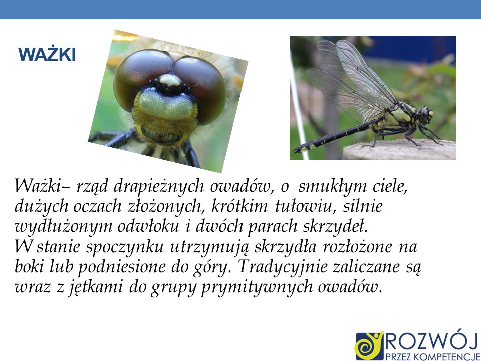 WAŻKI Ważki– rząd drapieżnych owadów, o smukłym ciele, dużych oczach złożonych, krótkim tułowiu, silnie wydłużonym odwłoku i dwóch parach skrzydeł. W