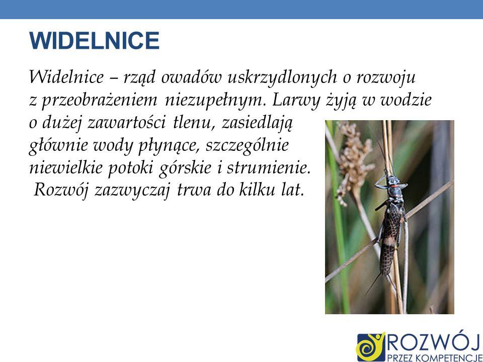 WIDELNICE Widelnice – rząd owadów uskrzydlonych o rozwoju z przeobrażeniem niezupełnym. Larwy żyją w wodzie o dużej zawartości tlenu, zasiedlają główn