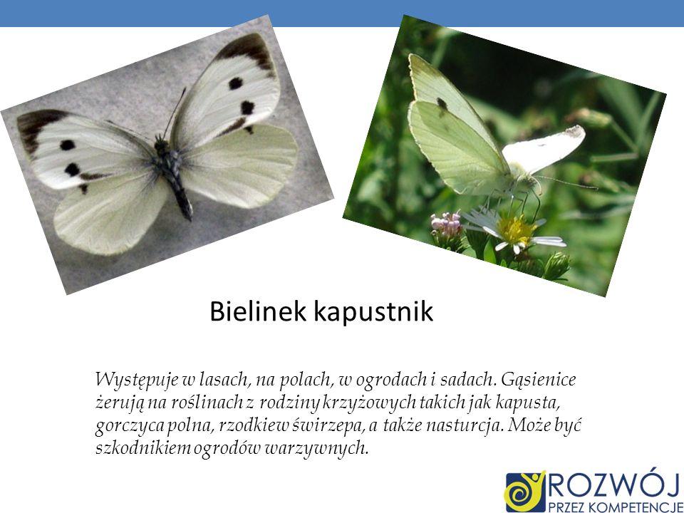 Bielinek kapustnik Występuje w lasach, na polach, w ogrodach i sadach. Gąsienice żerują na roślinach z rodziny krzyżowych takich jak kapusta, gorczyca