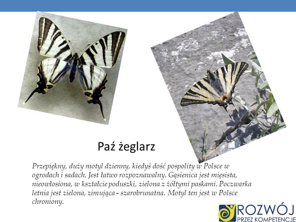 Przepiękny, duży motyl dzienny, kiedyś dość pospolity w Polsce w ogrodach i sadach. Jest łatwo rozpoznawalny. Gąsienica jest mięsista, nieowłosiona, w