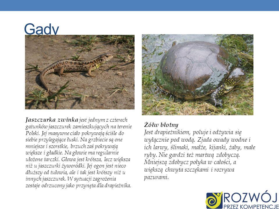 Gady Żółw błotny Jest drapieżnikiem, poluje i odżywia się wyłącznie pod wodą. Zjada owady wodne i ich larwy, ślimaki, małże, kijanki, żaby, małe ryby.