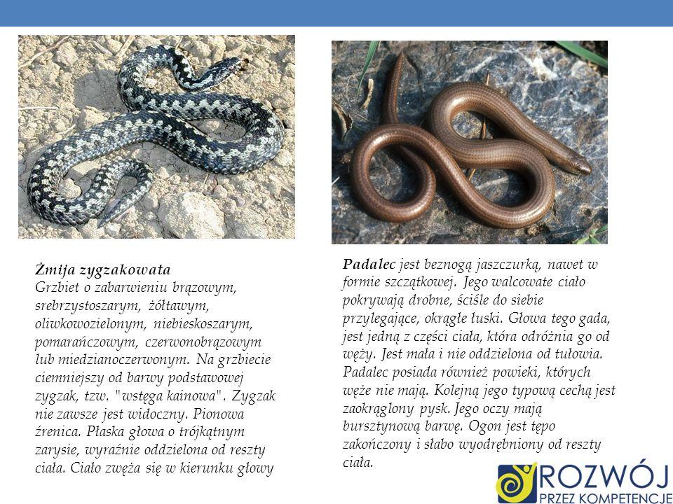 Jaszczurka żyworodna Ubarwienie grzbietu w różnych odcieniach brązu.