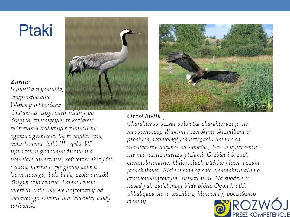 Ptaki. Orzeł bielik Charakterystyczna sylwetka charakteryzuje się masywnością, długimi i szerokimi skrzydłami o prostych, równoległych brzegach. Samic
