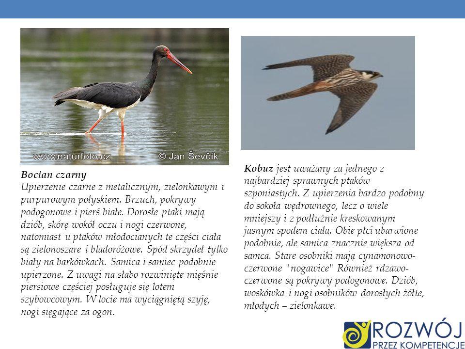 Kobuz jest uważany za jednego z najbardziej sprawnych ptaków szponiastych. Z upierzenia bardzo podobny do sokoła wędrownego, lecz o wiele mniejszy i z