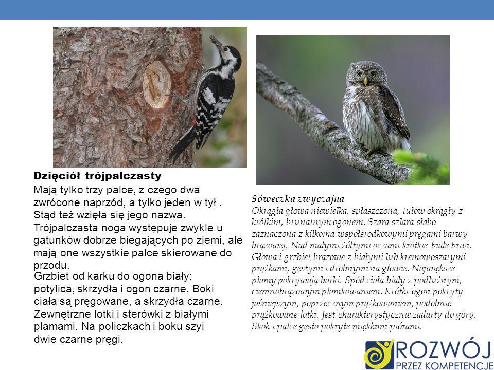 Jastrząb gołębiarz Starsze ptaki obu płci mają ubarwienie w zasadzie jednakowe.