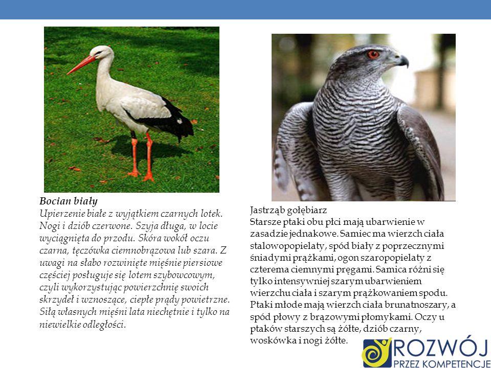 Jastrząb gołębiarz Starsze ptaki obu płci mają ubarwienie w zasadzie jednakowe. Samiec ma wierzch ciała stalowopopielaty, spód biały z poprzecznymi śn