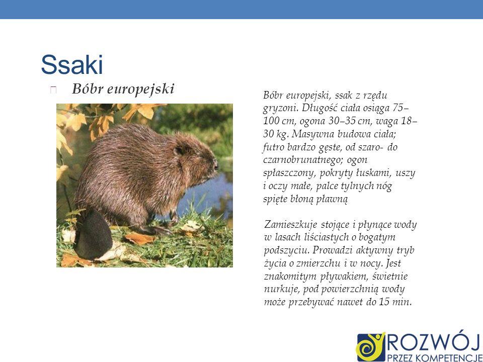 Ssaki Bóbr europejski Bóbr europejski, ssak z rzędu gryzoni. Długość ciała osiąga 75– 100 cm, ogona 30–35 cm, waga 18– 30 kg. Masywna budowa ciała; fu