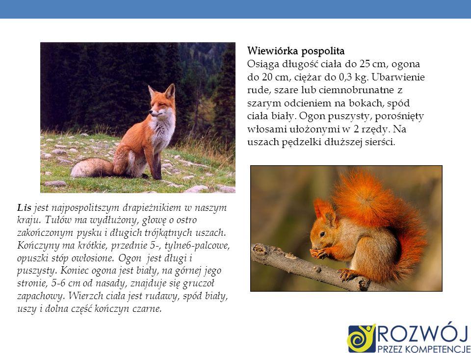 Wiewiórka pospolita Osiąga długość ciała do 25 cm, ogona do 20 cm, ciężar do 0,3 kg. Ubarwienie rude, szare lub ciemnobrunatne z szarym odcieniem na b