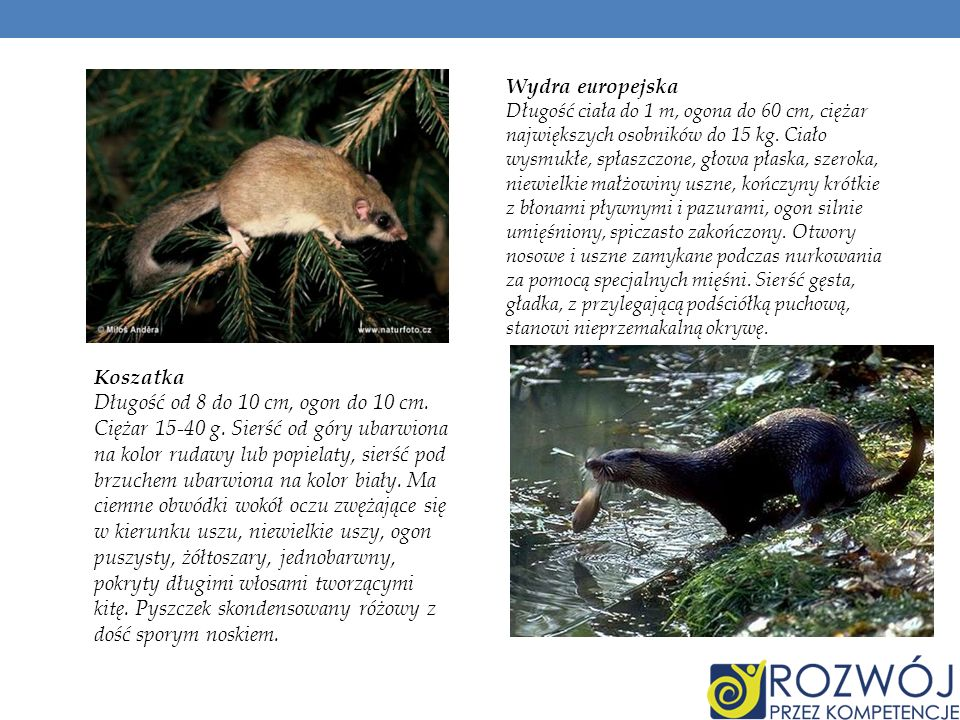 Jeż europejski Ten owadożerny, około dwudziestocentymetrowy ssak żyje w lasach i parkach na obrzeżach miast.