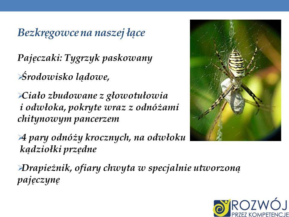 Bezkręgowce na naszej łące cz.II Owady: Pszczoła miodna Środowisko lądowe, Ciało zbudowane z głowy, tułowia i odwłoka, pokryte wraz z odnóżami chitynowym pancerzem 3 pary odnóży krocznych, Owady społeczne, hodowane przez człowieka