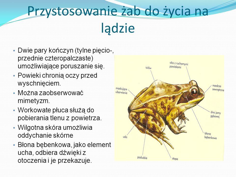 Przystosowanie żab do życia na lądzie Dwie pary kończyn (tylne pięcio-, przednie czteropalczaste) umożliwiające poruszanie się. Powieki chronią oczy p