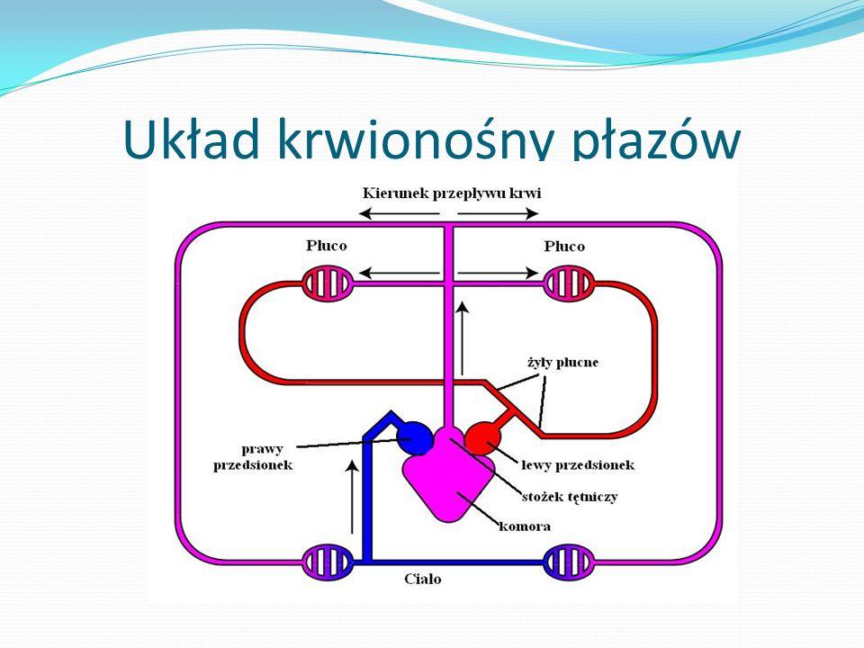 Układ krwionośny płazów