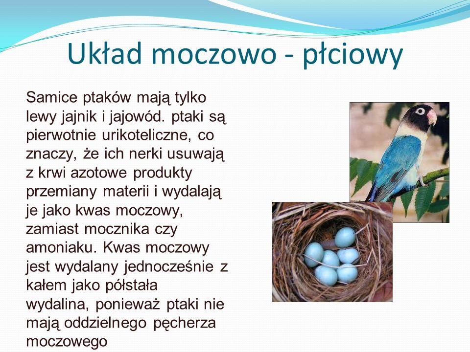 Układ moczowo - płciowy Samice ptaków mają tylko lewy jajnik i jajowód. ptaki są pierwotnie urikoteliczne, co znaczy, że ich nerki usuwają z krwi azot