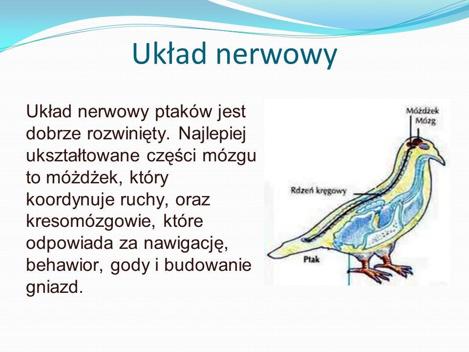 Układ nerwowy Układ nerwowy ptaków jest dobrze rozwinięty. Najlepiej ukształtowane części mózgu to móżdżek, który koordynuje ruchy, oraz kresomózgowie