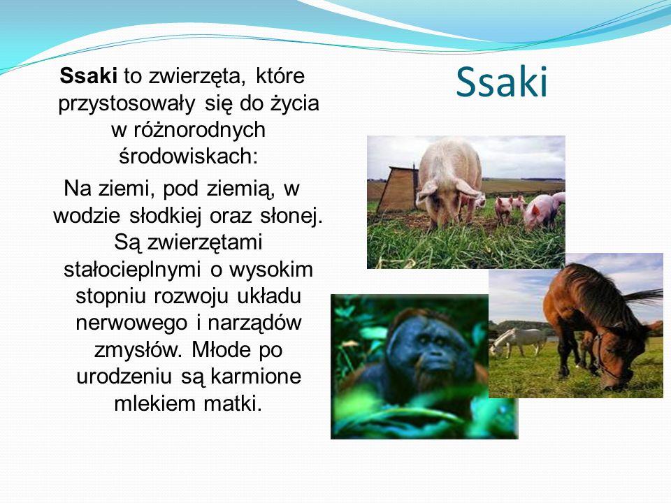 Ssaki Ssaki to zwierzęta, które przystosowały się do życia w różnorodnych środowiskach: Na ziemi, pod ziemią, w wodzie słodkiej oraz słonej. Są zwierz