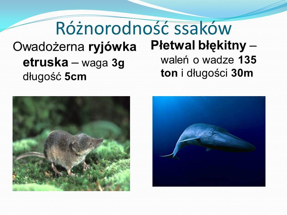 Różnorodność ssaków Owadożerna ryjówka etruska – waga 3g długość 5cm Płetwal błękitny – waleń o wadze 135 ton i długości 30m