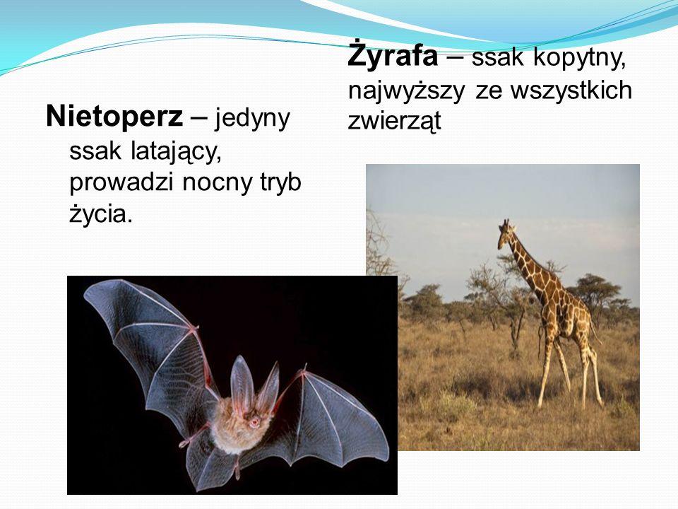 Nietoperz – jedyny ssak latający, prowadzi nocny tryb życia. Żyrafa – ssak kopytny, najwyższy ze wszystkich zwierząt