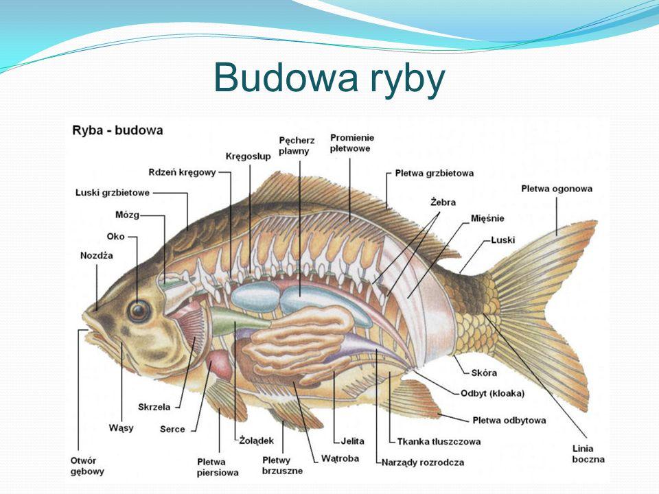 Cechy ryb umożliwiające życie w wodzie Opływowy kształt ciała Skóra zaopatrzona w gruczoły śluzowe Barwa ciała (mimetyzm) Płetwy Oczy pozbawione powiek Linia boczna Nieruchome połączenie głowy z tułowiem Skrzela Pęcherz pławny (u ryb kostnoszkieletowych
