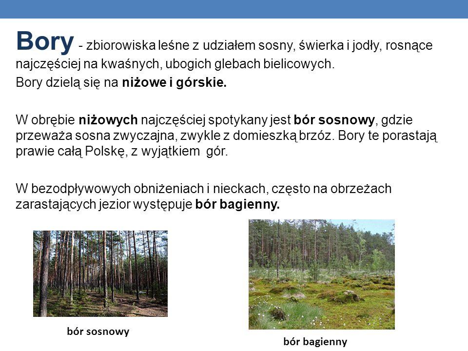 Bory - zbiorowiska leśne z udziałem sosny, świerka i jodły, rosnące najczęściej na kwaśnych, ubogich glebach bielicowych. Bory dzielą się na niżowe i