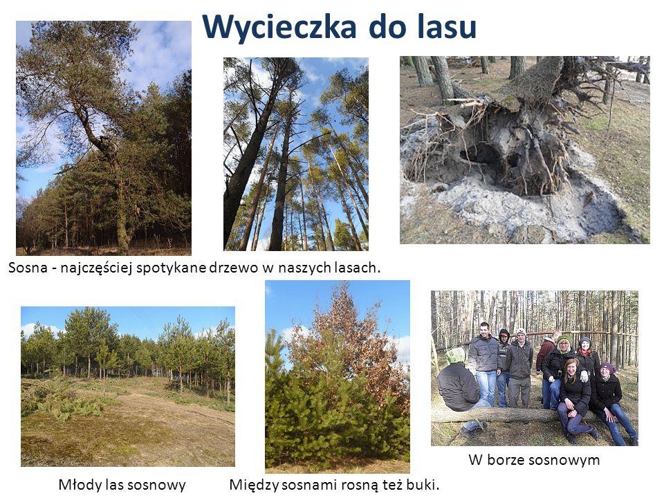 Wycieczka do lasu Sosna - najczęściej spotykane drzewo w naszych lasach. Między sosnami rosną też buki.Młody las sosnowy W borze sosnowym