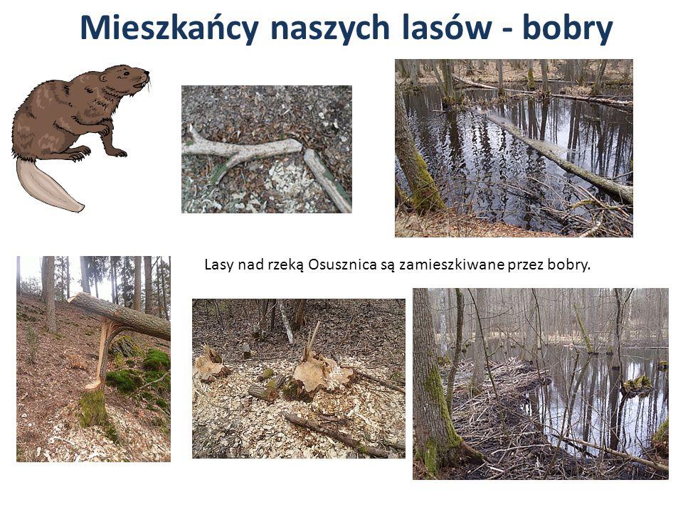 Mieszkańcy naszych lasów - bobry Lasy nad rzeką Osusznica są zamieszkiwane przez bobry.