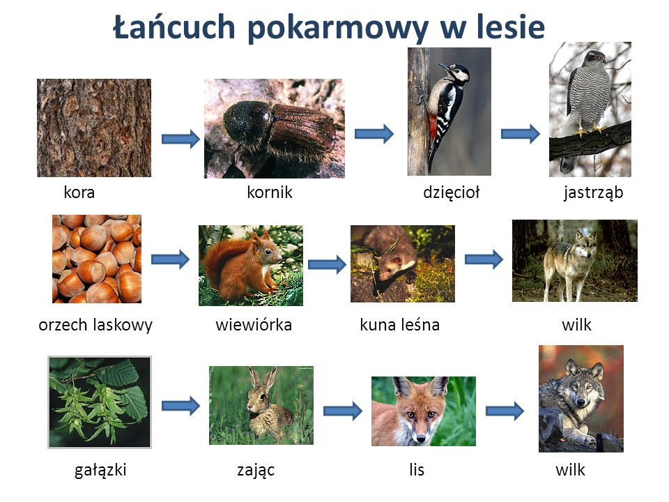 Łańcuch pokarmowy w lesie kora kornik dzięcioł jastrząb orzech laskowy wiewiórka kuna leśna wilk gałązkizającliswilk