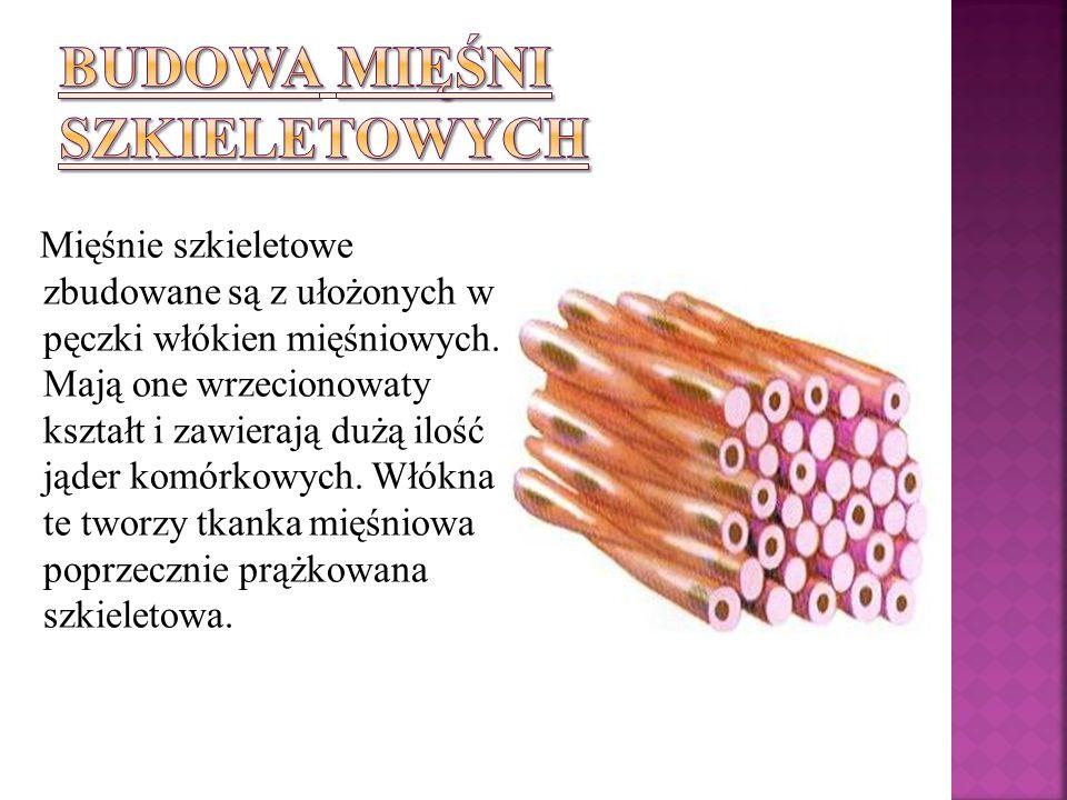 Mięśnie szkieletowe zbudowane są z ułożonych w pęczki włókien mięśniowych. Mają one wrzecionowaty kształt i zawierają dużą ilość jąder komórkowych. Wł