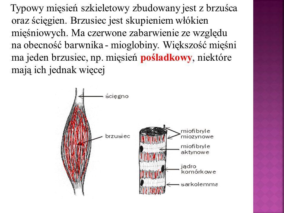 Typowy mięsień szkieletowy zbudowany jest z brzuśca oraz ścięgien. Brzusiec jest skupieniem włókien mięśniowych. Ma czerwone zabarwienie ze względu na