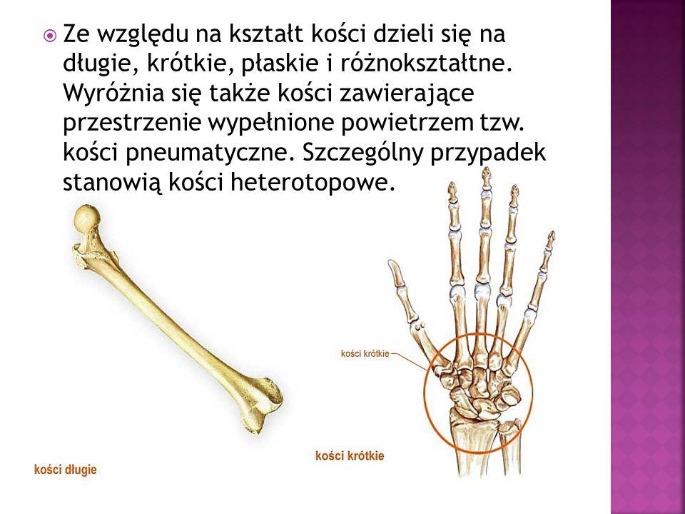Ze względu na kształt kości dzieli się na długie, krótkie, płaskie i różnokształtne. Wyróżnia się także kości zawierające przestrzenie wypełnione powi