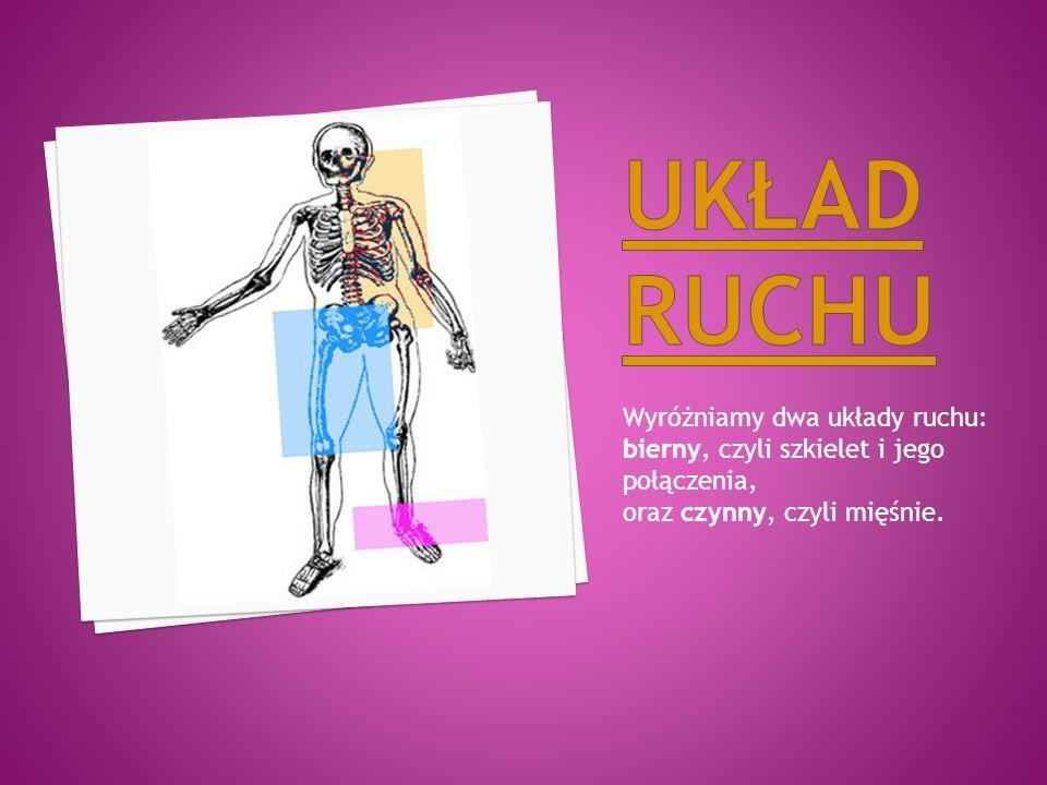 Wyróżniamy dwa układy ruchu: bierny, czyli szkielet i jego połączenia, oraz czynny, czyli mięśnie.