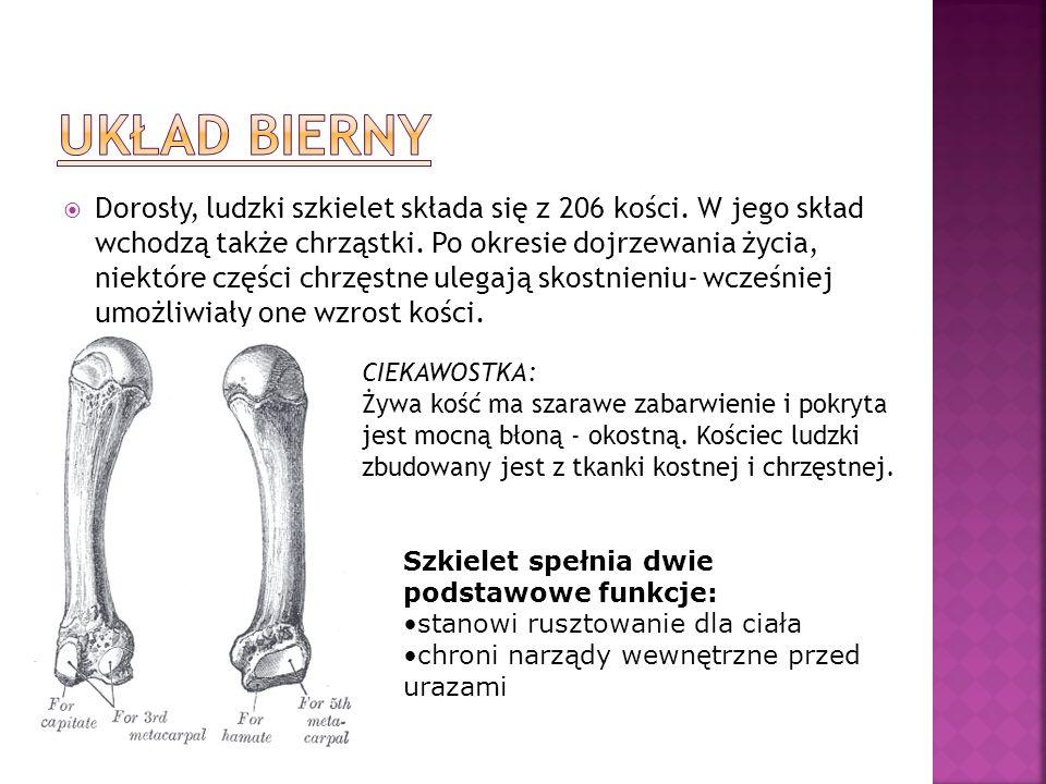 Dorosły, ludzki szkielet składa się z 206 kości. W jego skład wchodzą także chrząstki. Po okresie dojrzewania życia, niektóre części chrzęstne ulegają