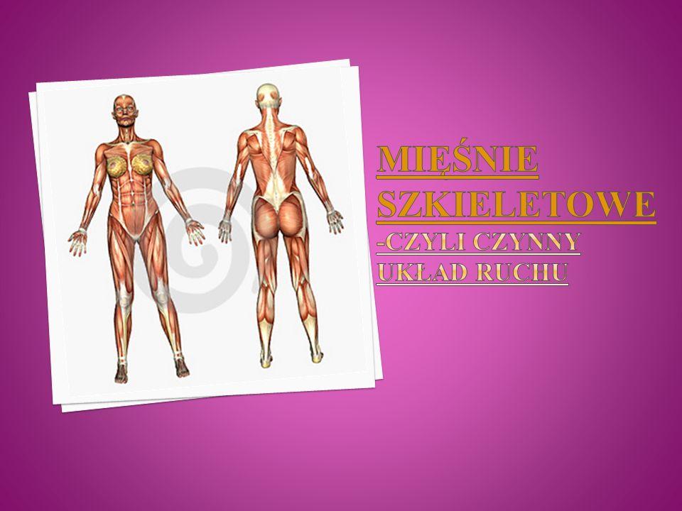 Układ czynny składa się z mięśni, które tworzą prawie połowę wagi naszego ciała.