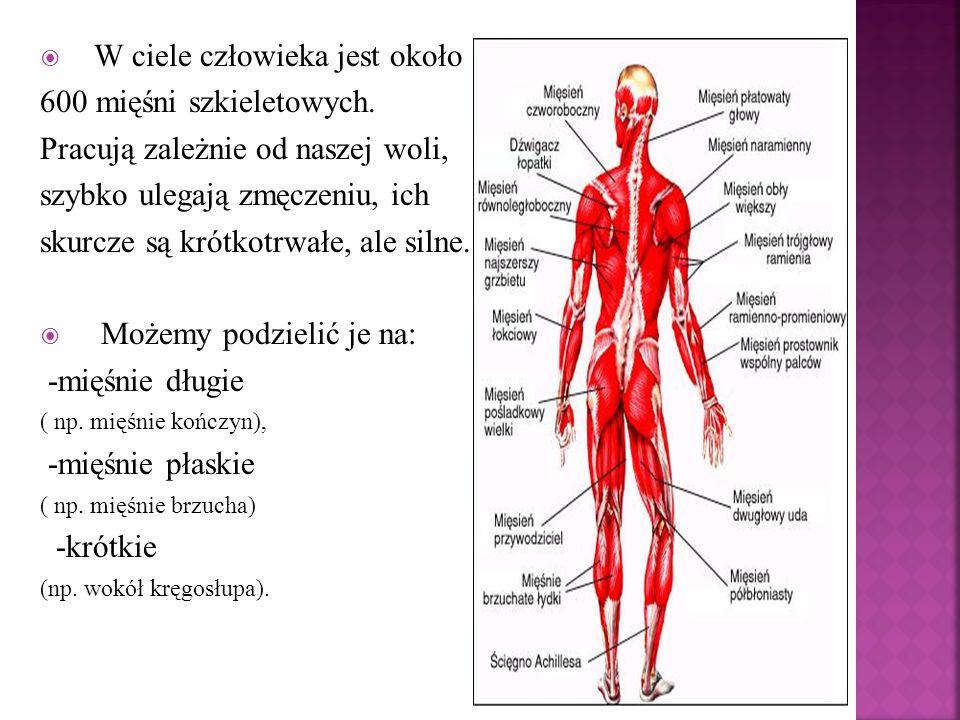 W ciele człowieka jest około 600 mięśni szkieletowych. Pracują zależnie od naszej woli, szybko ulegają zmęczeniu, ich skurcze są krótkotrwałe, ale sil